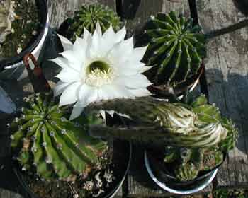 Two cactus stalks rise up before the flowers bloom.