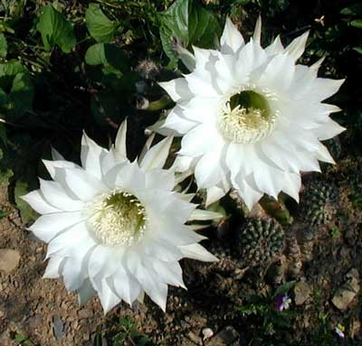 White cactus blossoms bloom for one day only.