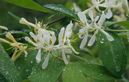 Honeysuckle blossoms are here, but not yet offering their sweet scent.
