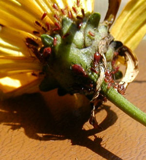 Note the abdominal cornicles on the shadow of an aphid.