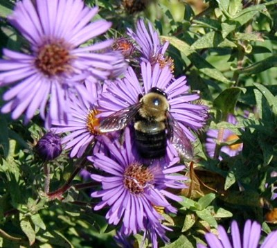 Bee collecting pollen from an aster flower.