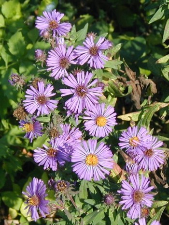 Blooms of New England Aster.