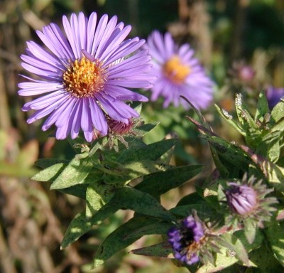 Crowded leaves of New England Aster.