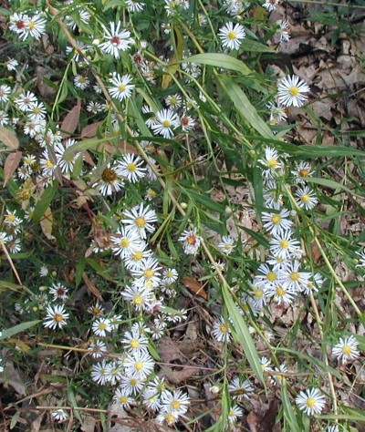 Panicles of white aster blooms.