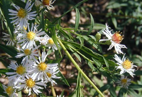 Close up view of panicled aster.
