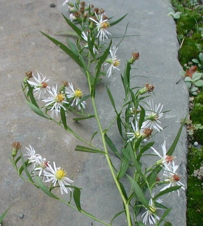 Flower arrangement of Panicled Aster.