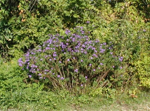 Purple asters in PA.