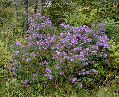 Purple asters along a Pennsylvania country road.