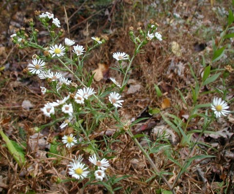 Small white aster flowers.