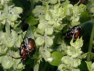 Japanese beetles on basil flowers.