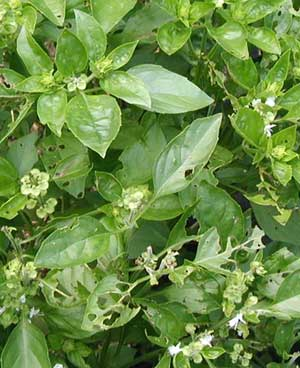 Basil leaves and flowers are devoured by Japanese beetles.