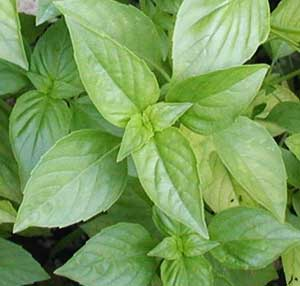 Light green opposite leaves of basil.
