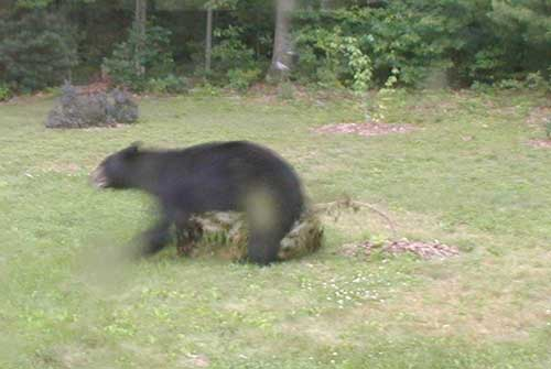 A black bear walking over a small tree as if to mark his territory.