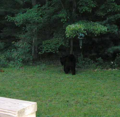Black bear shuffling back into the woods.