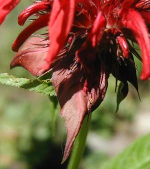 Maroon bracts just below the bee balm flowers.