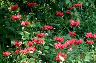 Monarda didyma flowers are brilliant red.