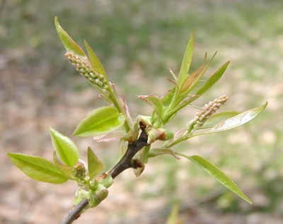 Black cherry flower buds.
