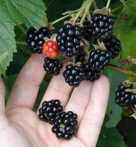 Delicious blackberries.