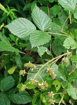 Black raspberries more often occur in clusters along the main stem.