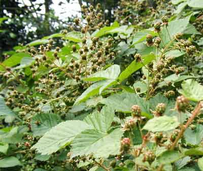 Clusters of the black raspberries are plentiful this year.