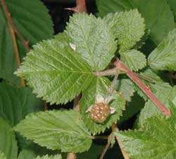 Some of the black raspberries arise singly in the leaf axils.