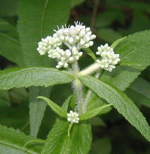 Boneset no flower.