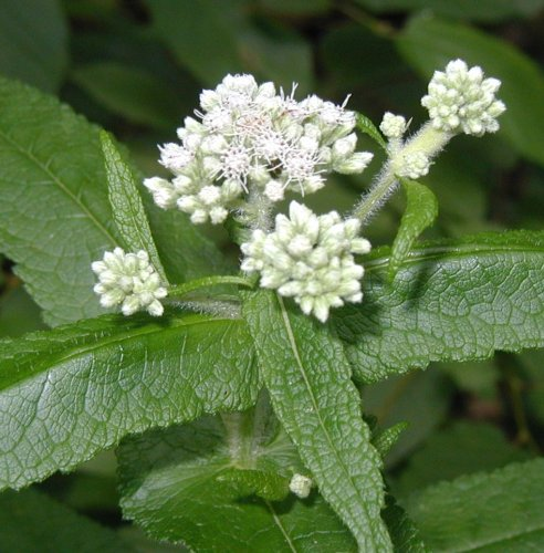 No flower in dry year for boneset.
