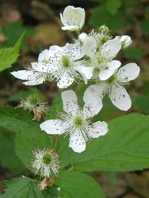 Brambles blooming in the woodlands.