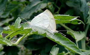 Butterflies mating on a tomato leaf.