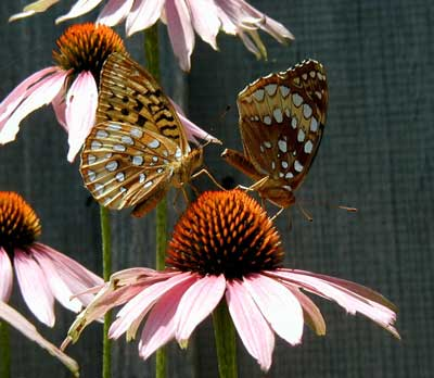 The fritillary butterfly ballet begins!