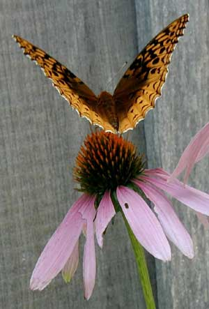 Bat-like fritillary butterfly.