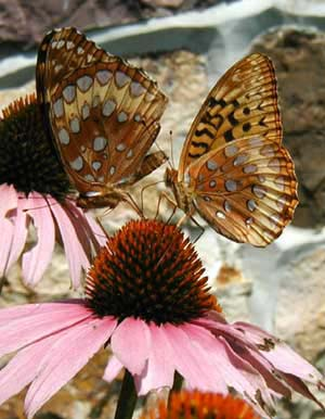 Forewing patterns are different between the sexes.