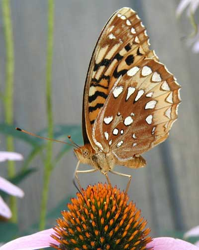 Full frontal fritillary.