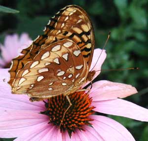 Side of the fritillary butterfly.