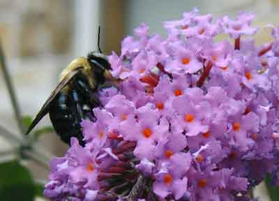 Beautiful blooming butterfly bush bares its blossom to the buzzing bee.