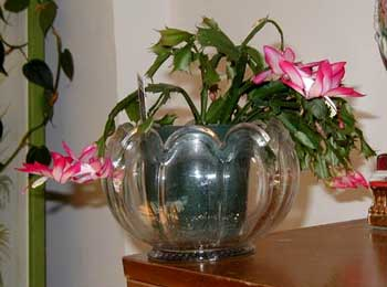 Christmas cactus blooms pink and white.