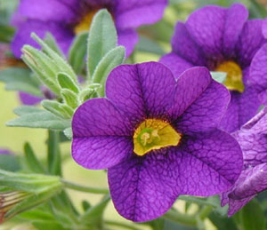 Superbell's Blue hybrid Calibrachoa.