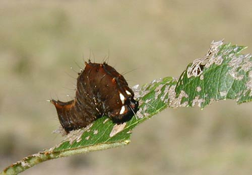 Brown caterpillar with white dashes on its head.