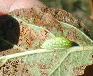 Slug caterpillar with head on the right.