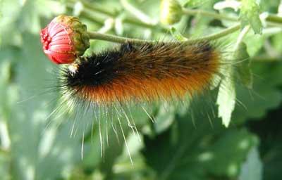 Caterpillar eats an upside down meal.