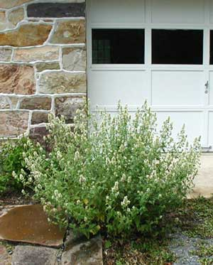A large catnip plant releases its skunky scent every time the car brushes past it in the driveway.