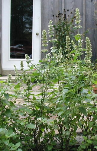 Flowering catnip, pre-harvest.