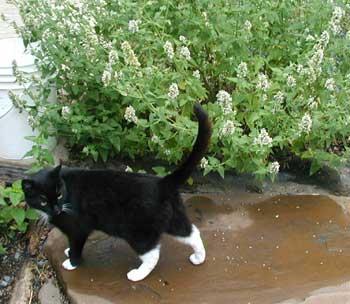 Miss Laverne guarding her catnip.