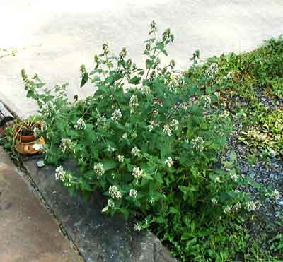 Terminal flowers of catnip are blooming.