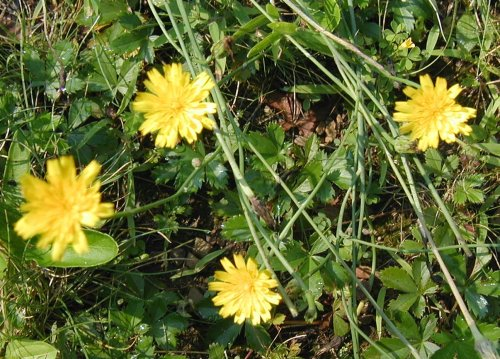 Flowering Cat's Ears in Pennsylvania.