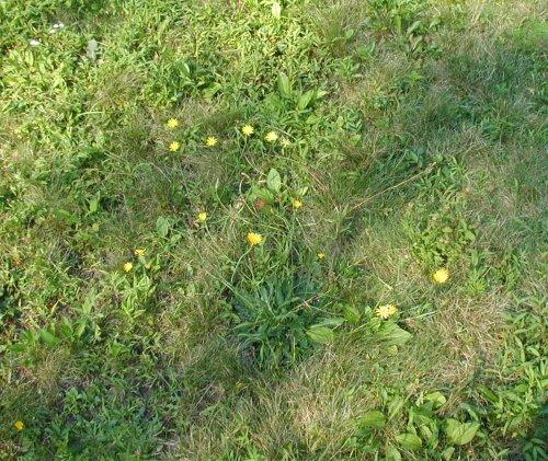 Cat's-Ears flowering in the yard.