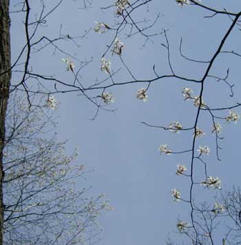In the foreground a pin cherry tree shows the individual blossom clusters while the blooming tree in the background is outlined in white flower clusters.