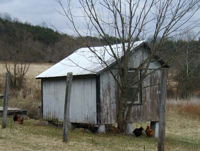Rooster and chickens out in the barnyard.