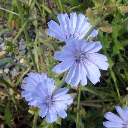 Close up view of chicory flower.