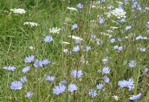 Queen Anne's Lace and Chicory.